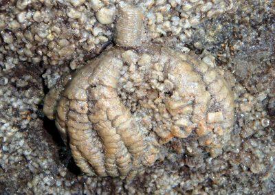 Crinoid calyx